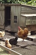Chickens need a chicken coop