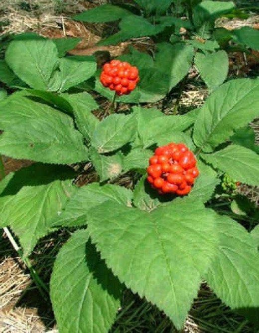What does panax ginseng do