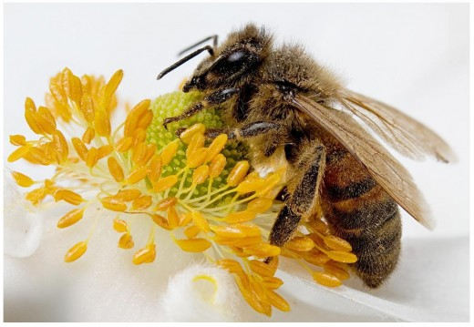 European Honey Bee (Apis mellifera)
