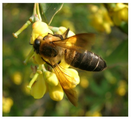 Himalayan Giant Honey Bee (Apis laboriosa)