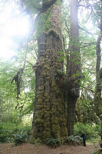 Sitka Spruce Alaska State Tree