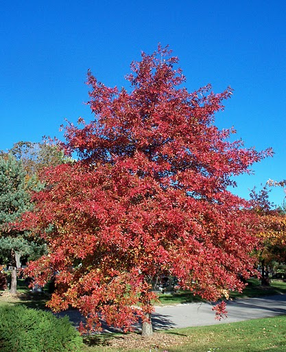 Scarlet Oak District of Columbia State Tree