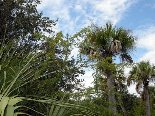 Cabbage Palm Florida State Tree
