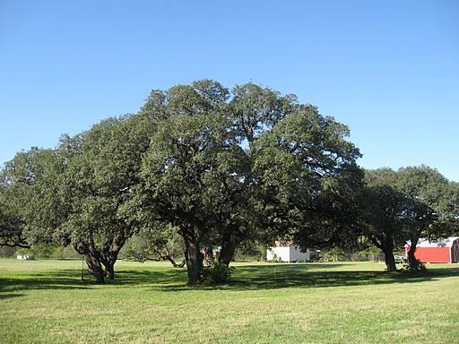 Live Oak Georgia State Tree