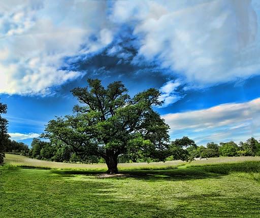 Oak Iowa State Tree