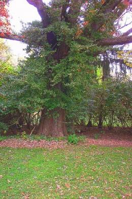 White Oak Maryland State Tree