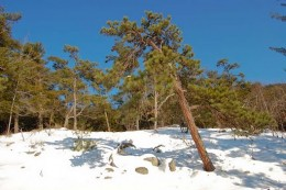 Red Pine Minnesota State Tree