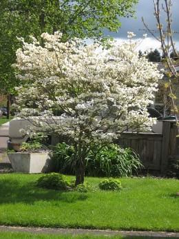 Flowering Dogwood Missouri State Tree
