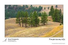 Ponderosa Pine Montana