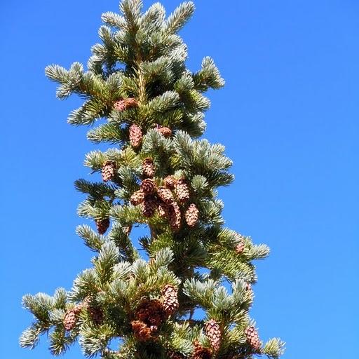 Bristlecone Pine Nevada State Tree