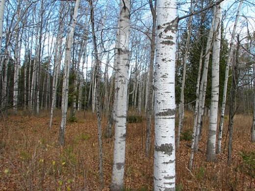 White Birch New Hampshire State Tree