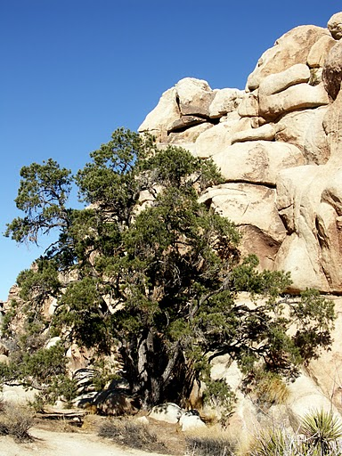 Pion Pine New Mexico State Tree
