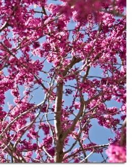 Eastern Redbud Oklahoma Sate Tree