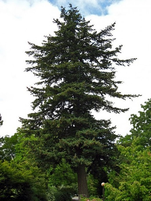 Douglas Fir Oregon State Tree
