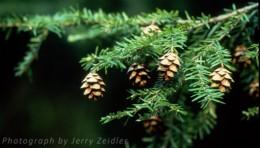Eastern Hemlock Pennsylvania State Tree