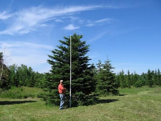 White Spruce South Dakota State Tree