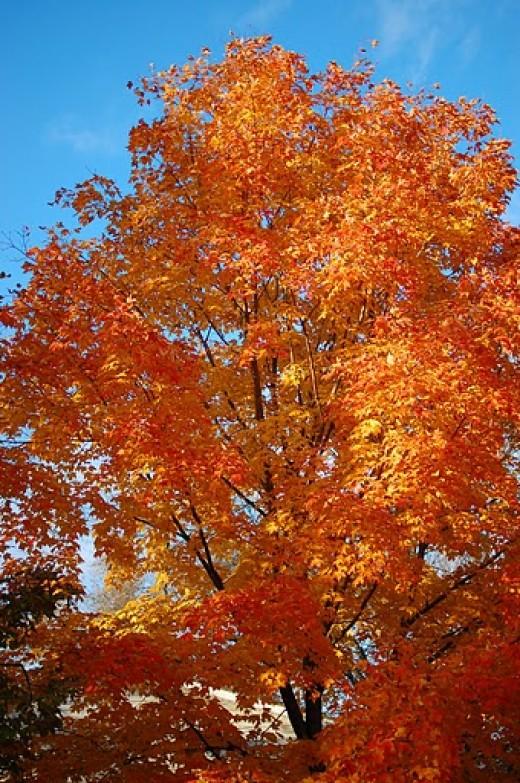 Sugar Maple Wisconsin State Tree