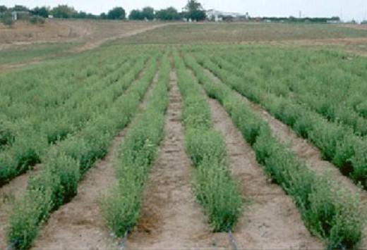 Stevia Rebaudiania farm