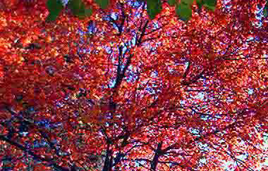 Red Maple Rhode Island State Island