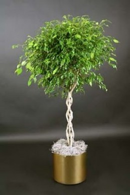you can braided the stems of this tree as you likes