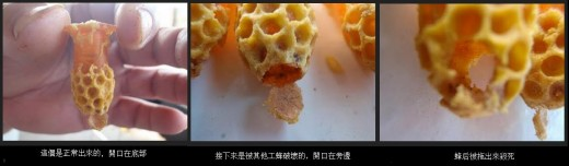 (from left) An empty Queen cell, after Queen lava is hatched. Queen bites and open a flap when emerging from a cell. Cell of Queen lava killed by Worker Bee, with opening at the side.