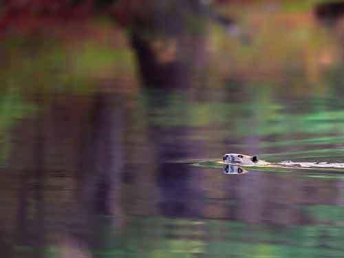 A mammal (beaver) crosses over...