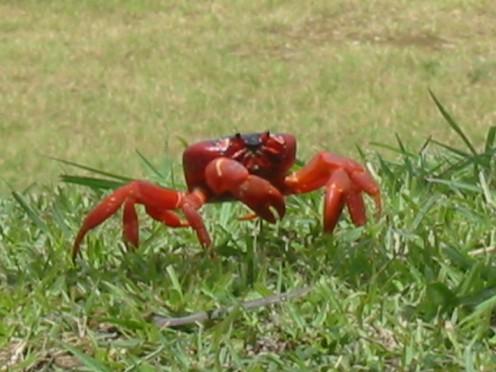 Red crab on Christmas Island
