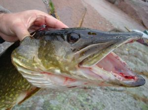Northern Pike head showing sharp teeth