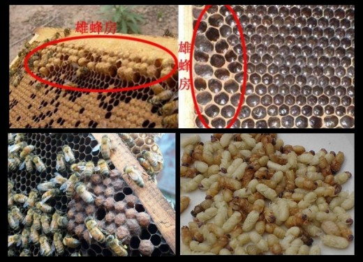 (top, circled) Drone cells are a third larger, with bulging caps .(bottom) Drone cell near the edge of comb, Drone larvae.