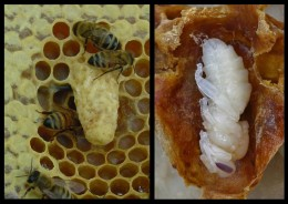 (left) Queen cell sticks out from the comb and hangs downwards- by Steph Elson. (right)  Dissected Queen cell, showing Queen Bee lava, with head at the bottom by Waugsberg