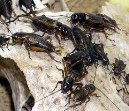 Black crickets. These I did not like.