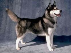 Siberian Husky History