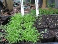 Transplanting Seedlings - Garden Journal part 2