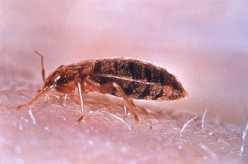 Getting Rid Of Bed Bugs: Steam Cleaning Techniques And More