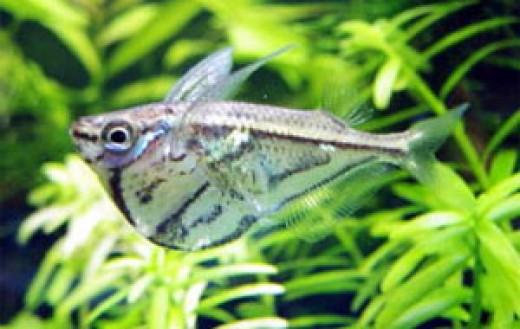 Smaller Marbled Hatchet fish