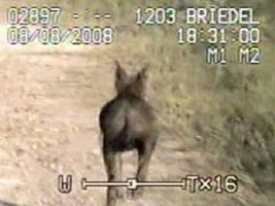 Chupacabra, Goat Sucker, Seen in Texas - Photos & Video