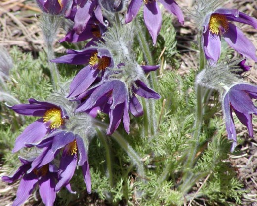 The pasque flowers are a popular garden choice. they are now in decline in the wild.