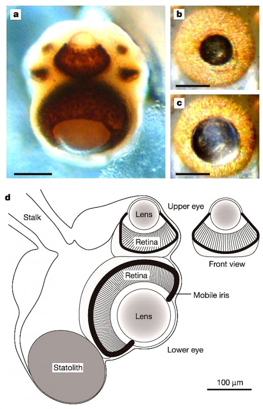 Box Jellyfish Eye Structure