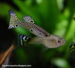 Male (colorful one) and female guppy