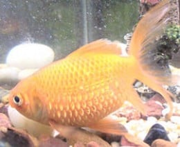 Gold Fish with Droopsy