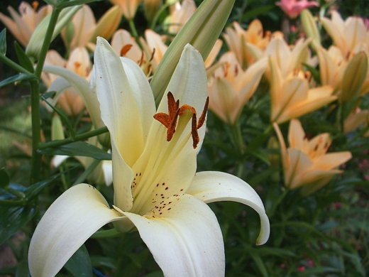 Asiatic Lily (Rienesse).  Photo by: timorous