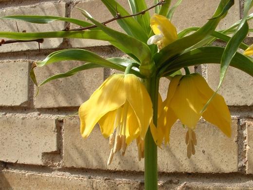 Fritillaria.  Photo by: timorous