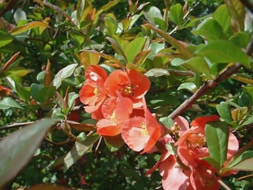Japonica (Japanese Quince)  Photo by: timorous
