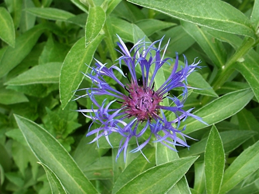 Bachelor's Button (Cornflower)  Photo by: timorous