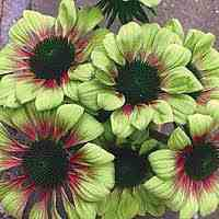 Green Envy Coneflowers