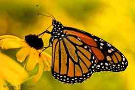 An attractive monarch butterfly on a Black-Eyed Susan
