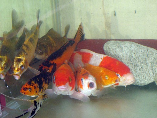 While koi are best kept in a pond, they can also be raised in an aquarium. Just remember to keep them happy and not let them know the difference.