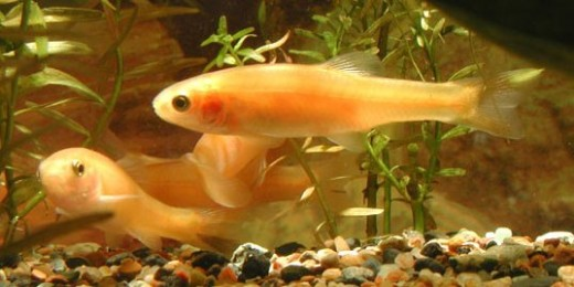 Rosy Reds, the most common Feeder Fish