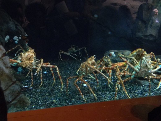 Japanese spider crabs.