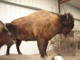 Bison in the Wildlife Museum
